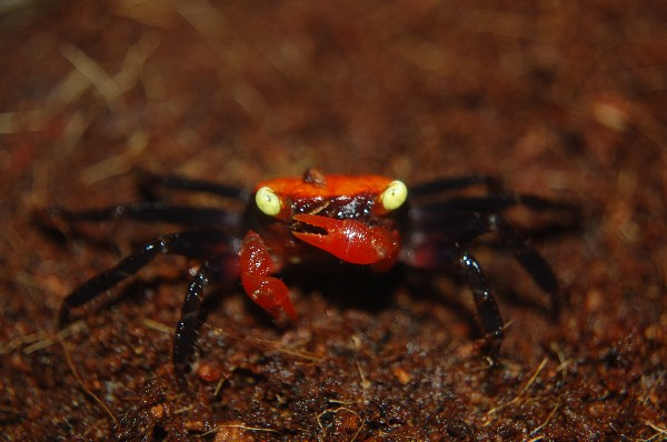 Vampire crabs tropical fish forums for Vampire fish for sale