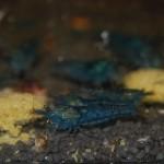 Caridina serrata Aura Blue
