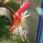 Procambarus clarkii Koi